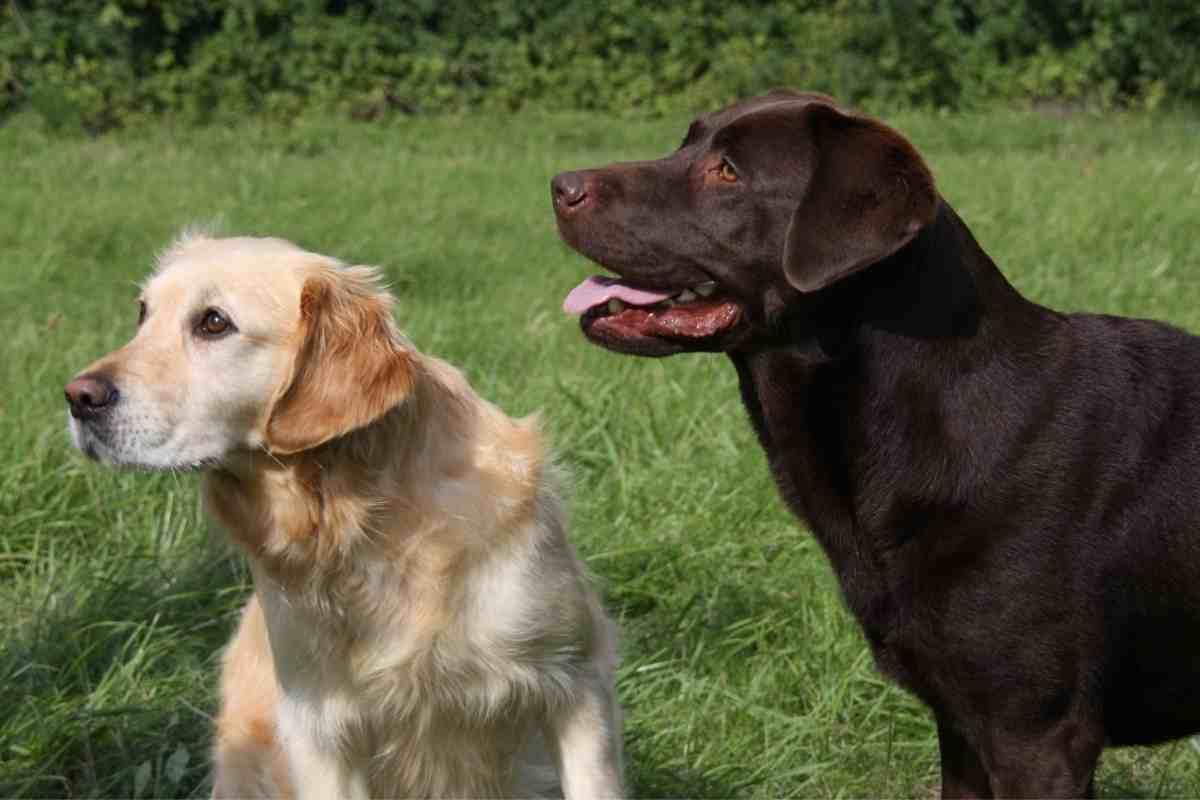 Are Golden Retrievers Smaller Than Labradors?