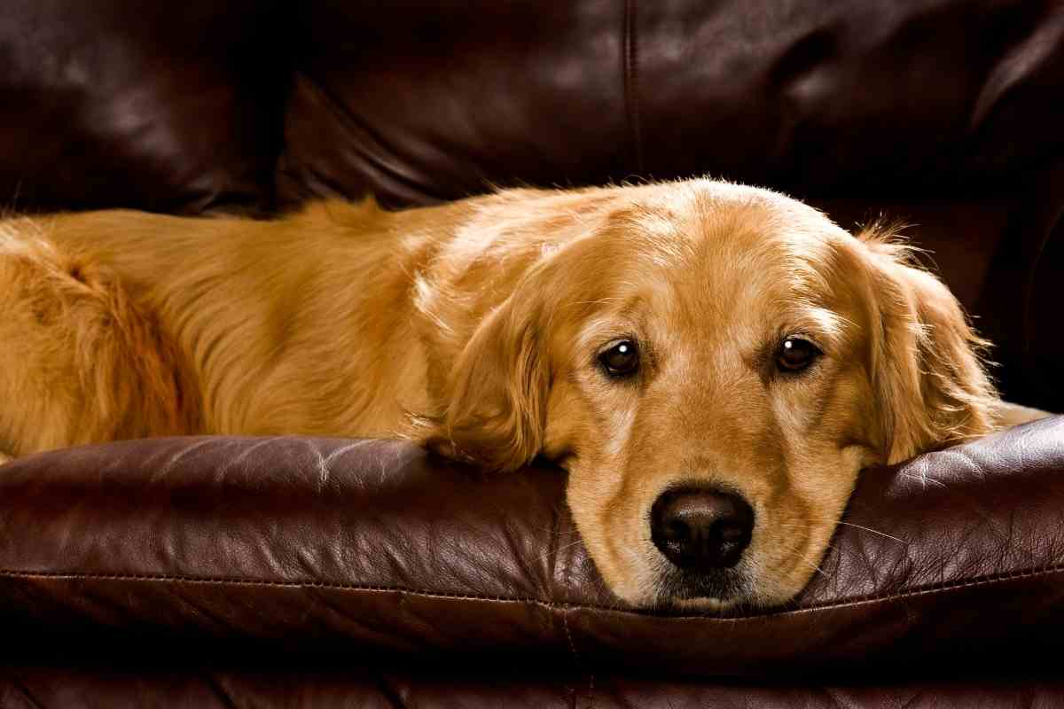 Can A Golden Retriever Be Left Alone?