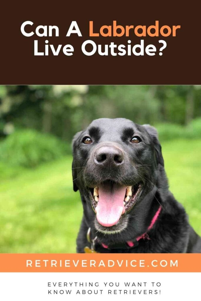 Can A Labrador Live Outside?