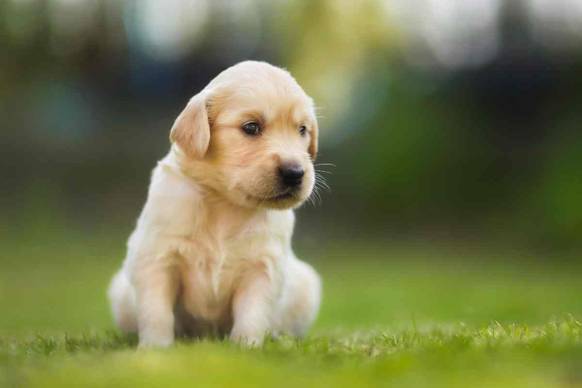 How Long Does It Take To Potty Train A Golden Retriever Puppy?