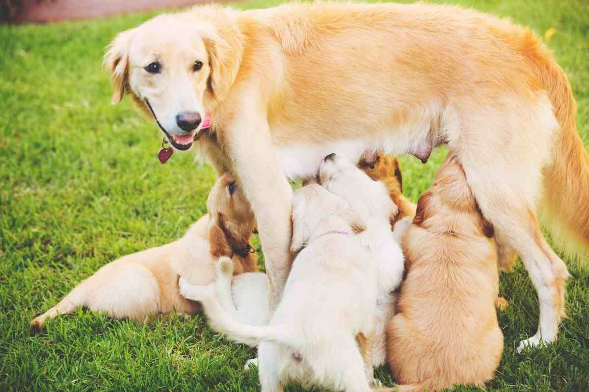 Why Are Golden Retriever Puppies So Expensive?