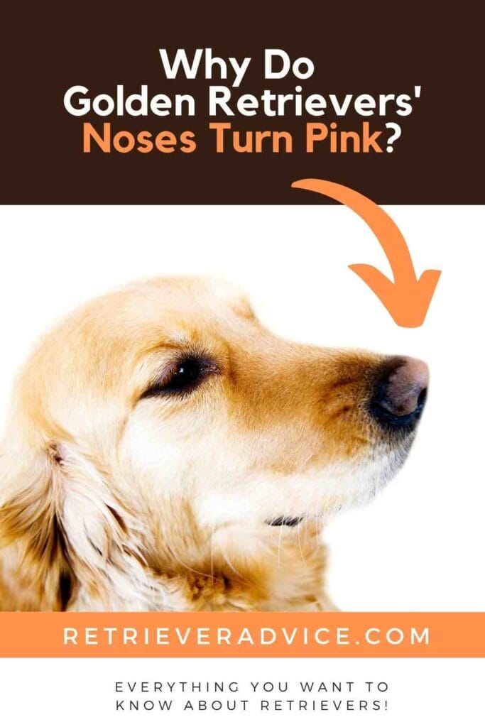Why Do Golden Retrievers' Noses Turn Pink?