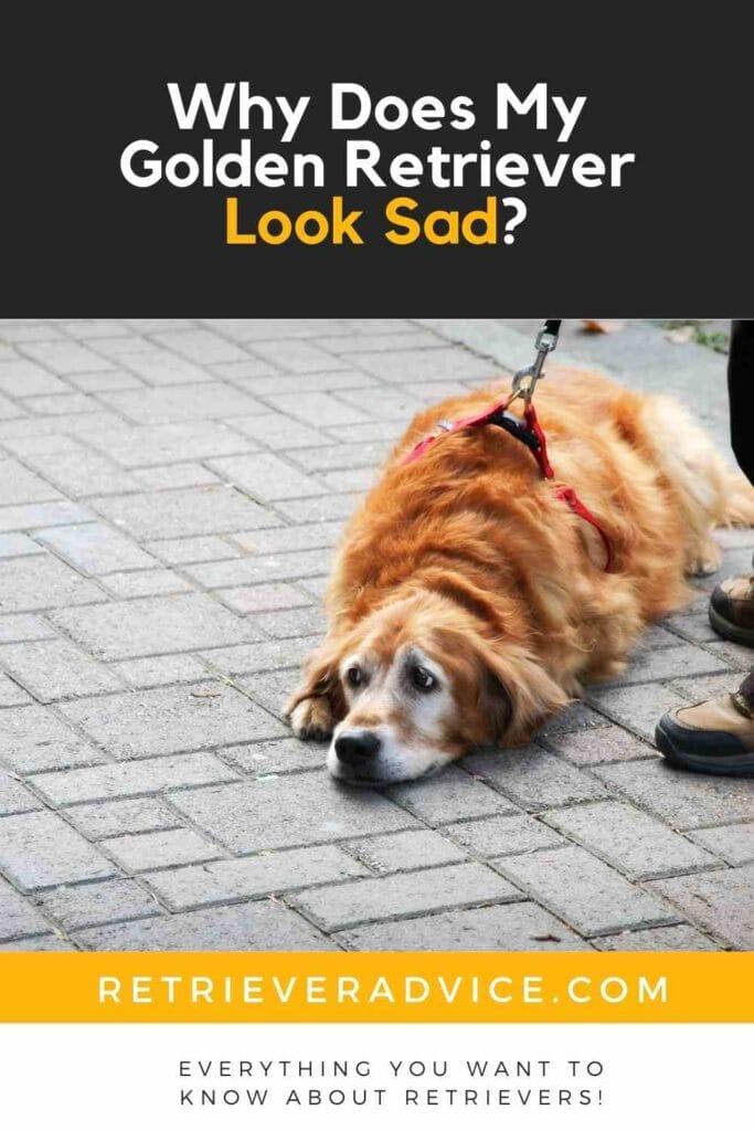 Why Does My Golden Retriever Look Sad