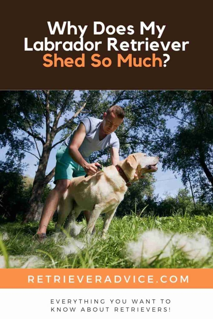 Why Does My Labrador Retriever Shed So Much?