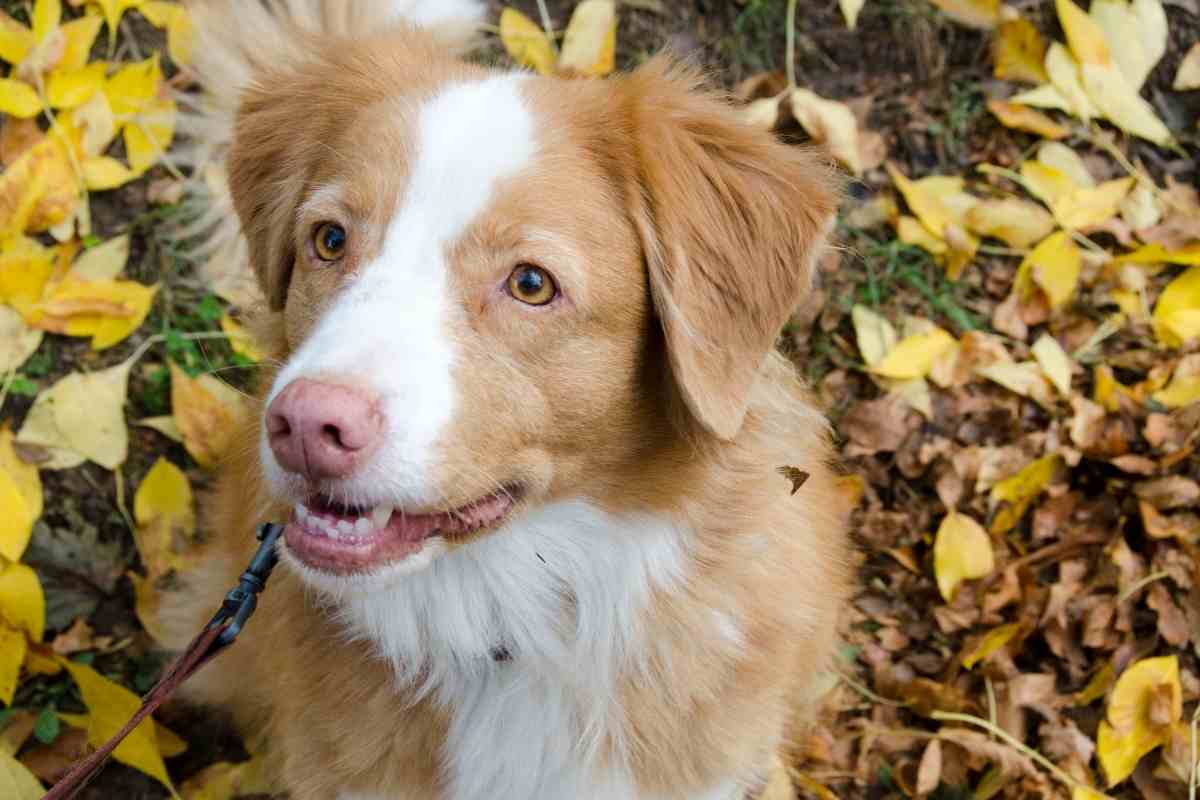 Are Duck Tolling Retrievers A Mix?