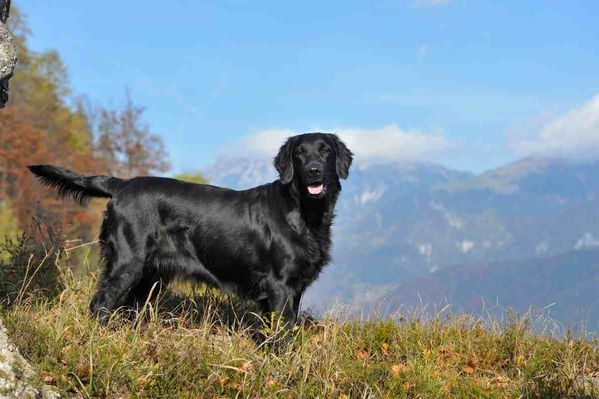 Are Flat Coated Retrievers Cuddly?