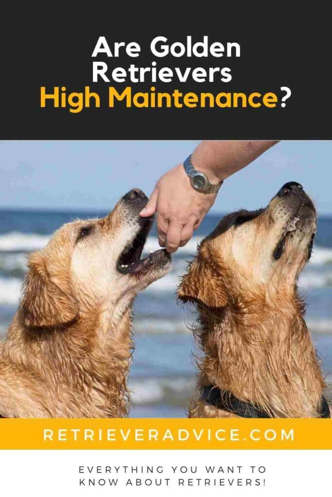 Are Golden Retrievers High Maintenance?