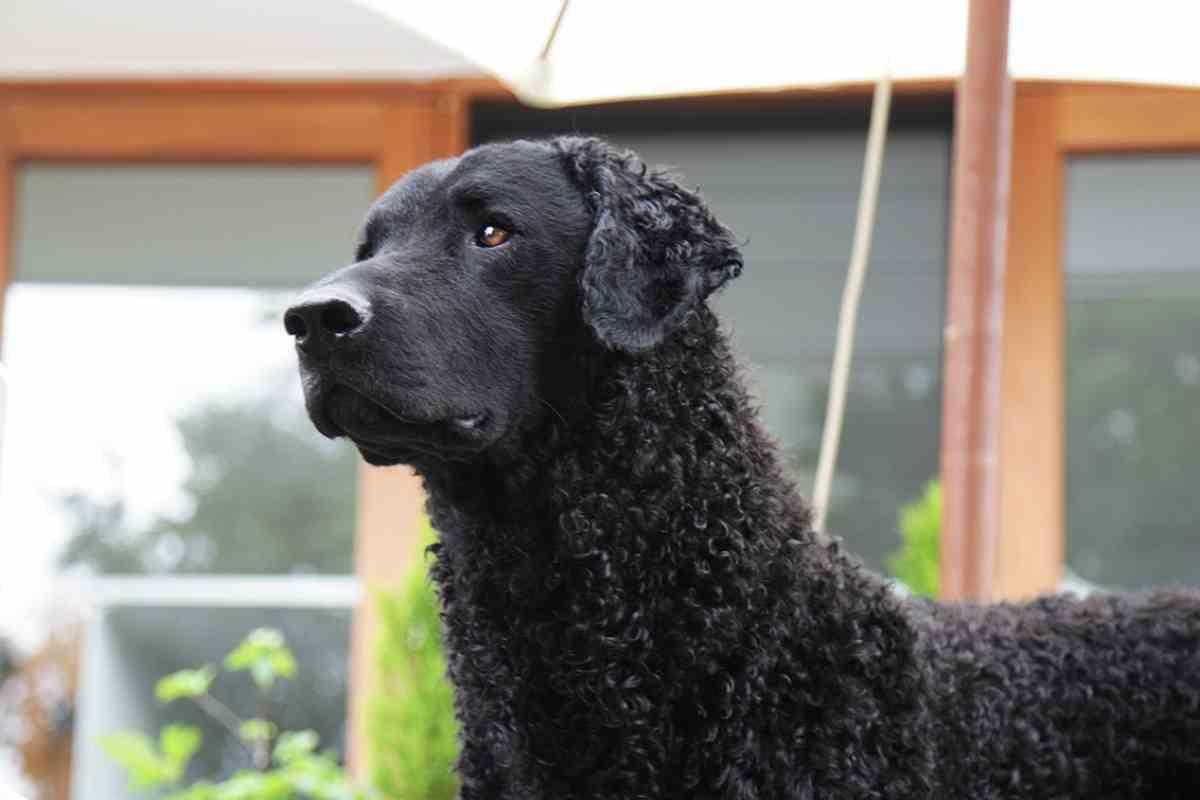 How often should I brush and groom my Curly Coat Retriever?
