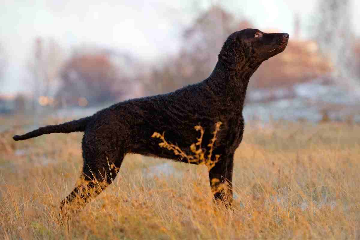 If my Curly Coat Retriever has an odor, what should I do?
