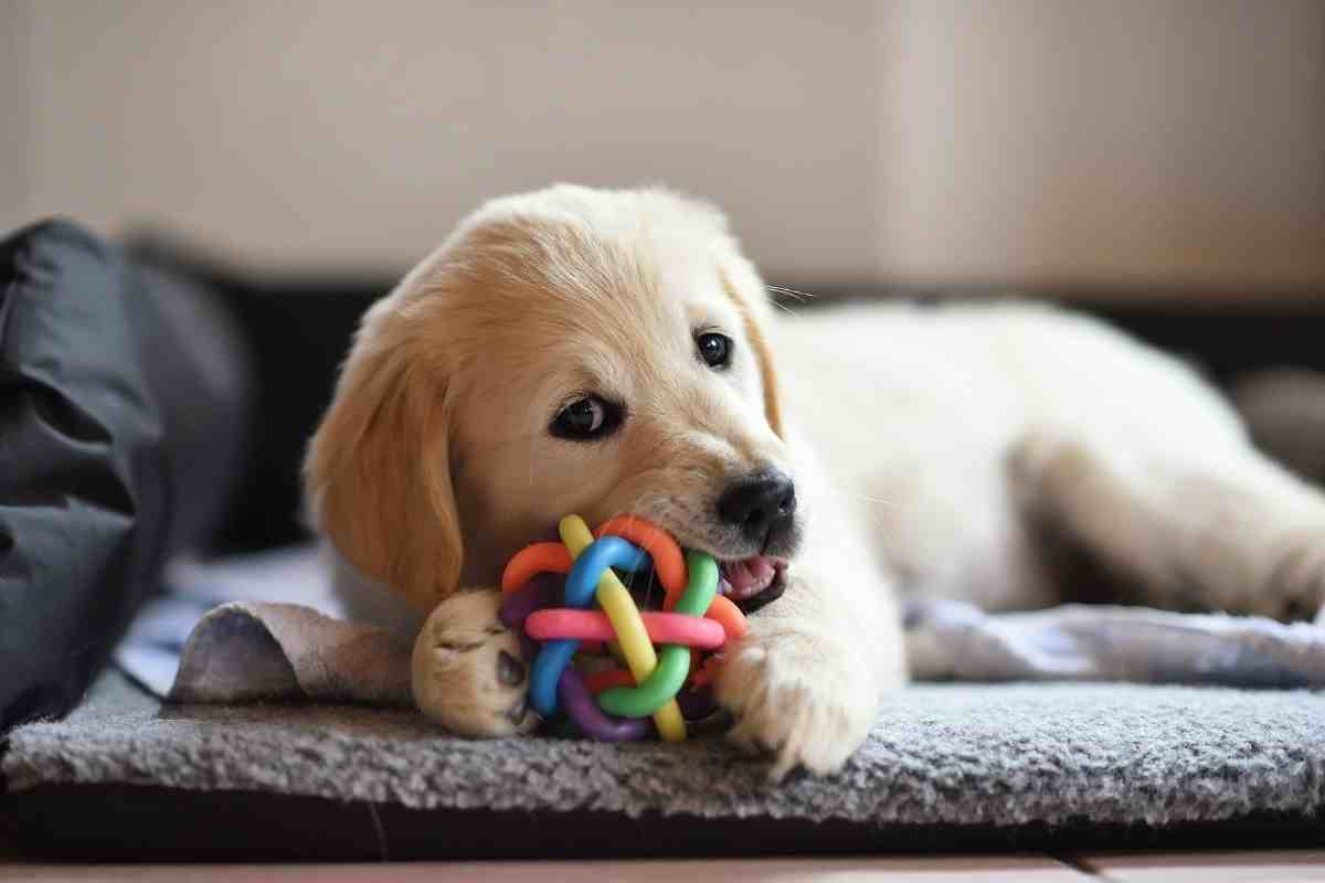 Do Golden Retrievers Have Separation Anxiety? Toys to help with seperation anxiety