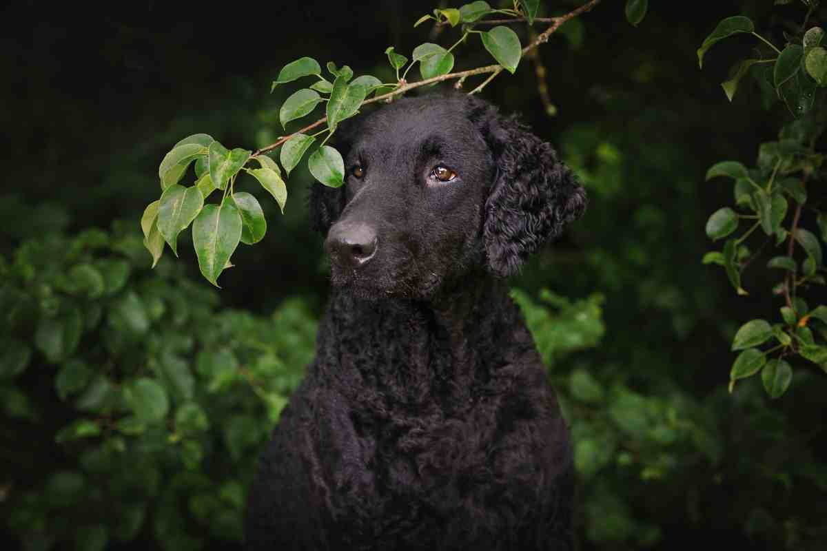 How Much Are Curly Coat Retriever Puppies?