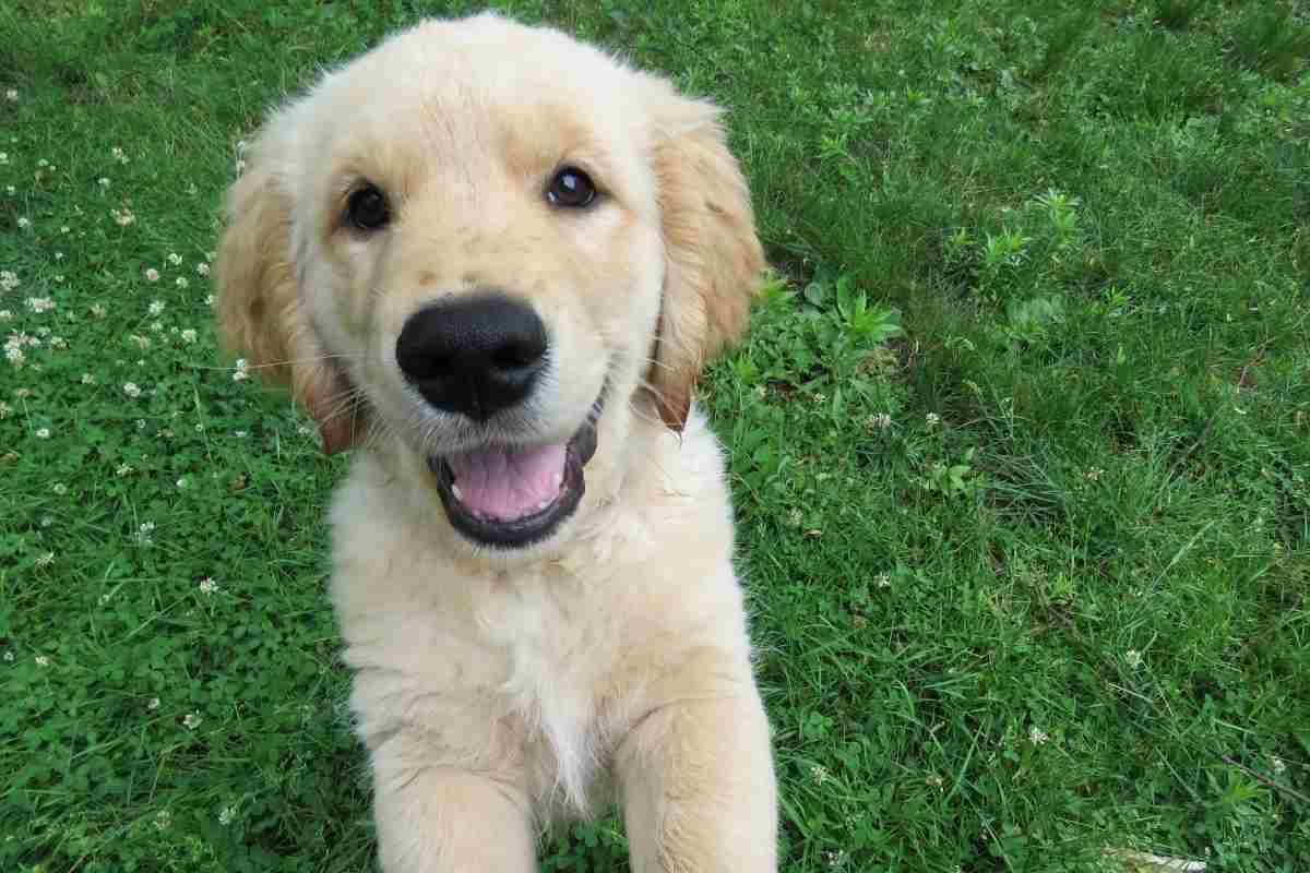 Why Do Golden Retrievers Smile?