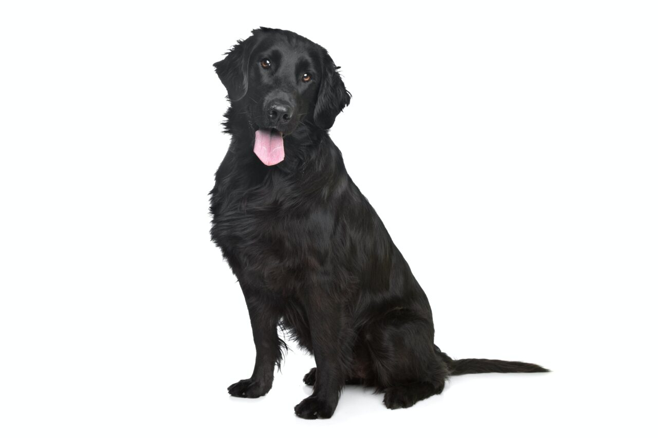 What Is The Difference Between A Flat-Coated Retriever And A Golden Retriever? How common is the Flat Coat Retriever?