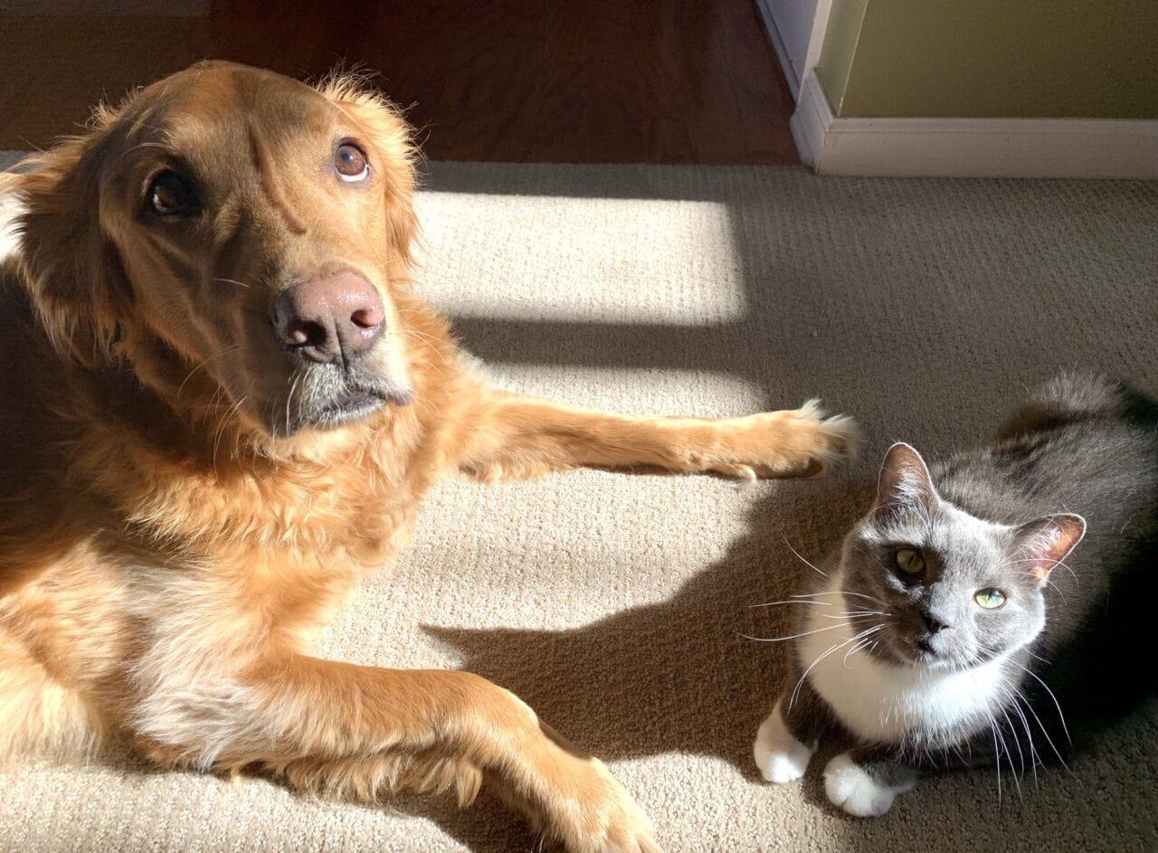 Do Golden Retrievers Get Along with Cats?