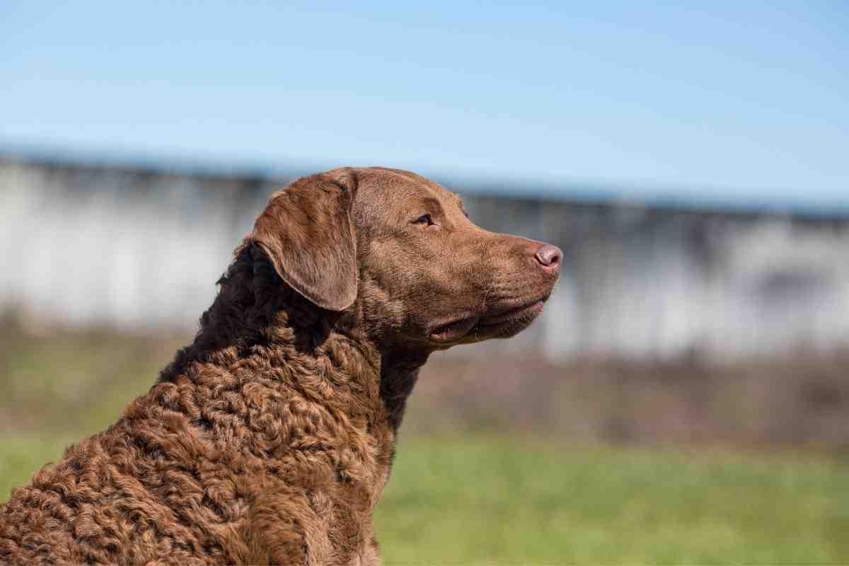 Are Chesapeake Bay Retrievers Affectionate? #dogs #retriever #pupies