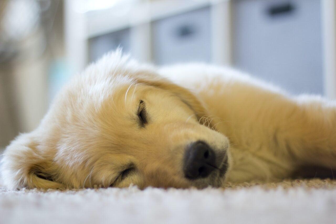 golden retriever puppy sleep -- Cute Sleeping Golden Retriever Puppy