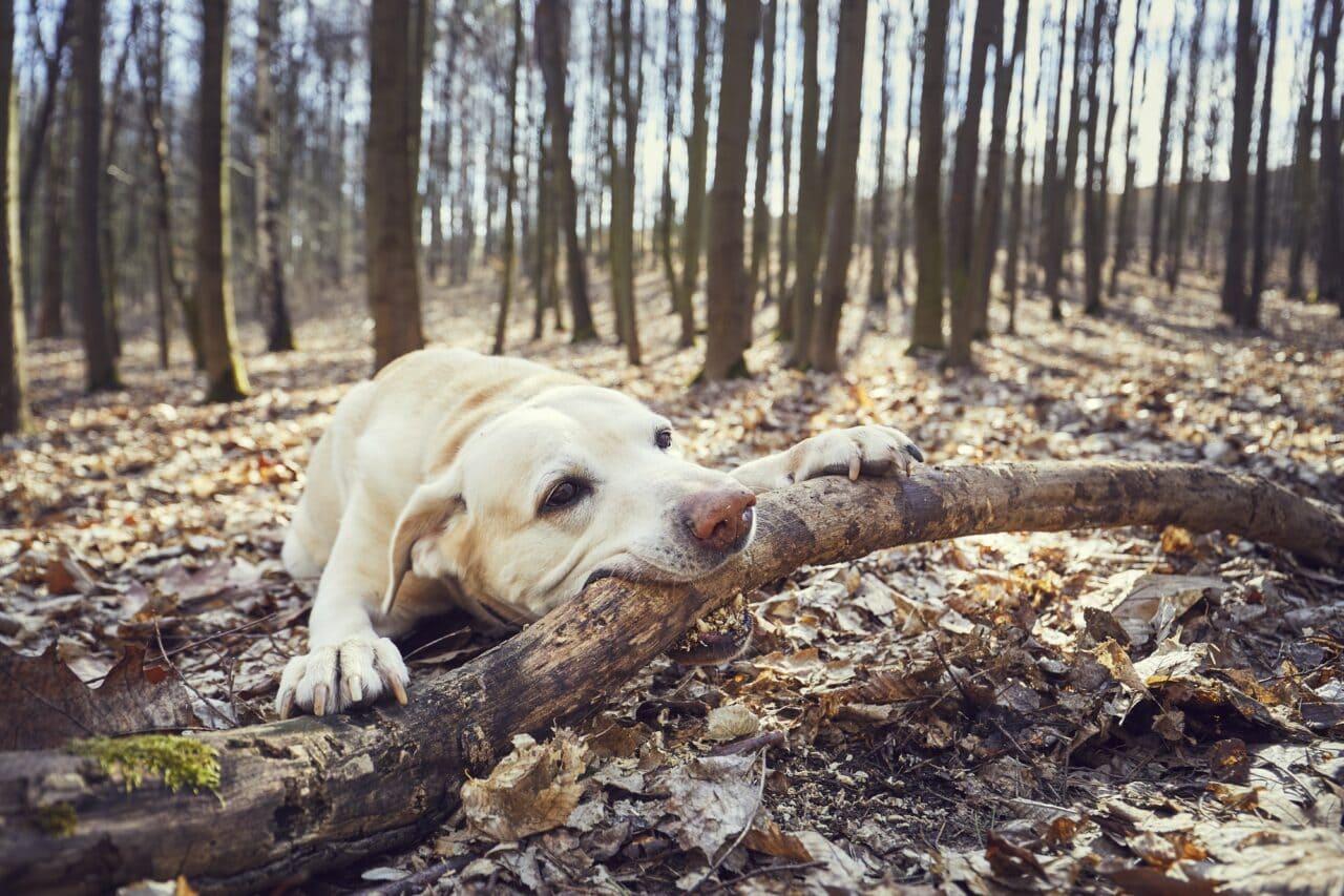 Do Labradors bite their owners?