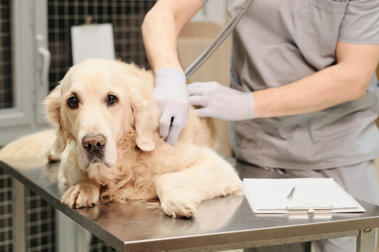 What To Do If My Golden Retriever Isn't Eating But Acts Normal? (Vet weighs in)