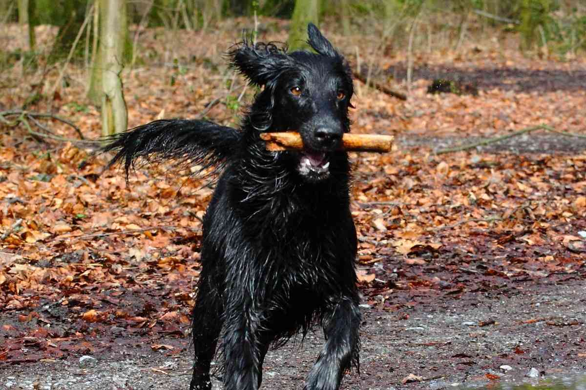 When Does a Flat Coated Retriever Stop Growing?