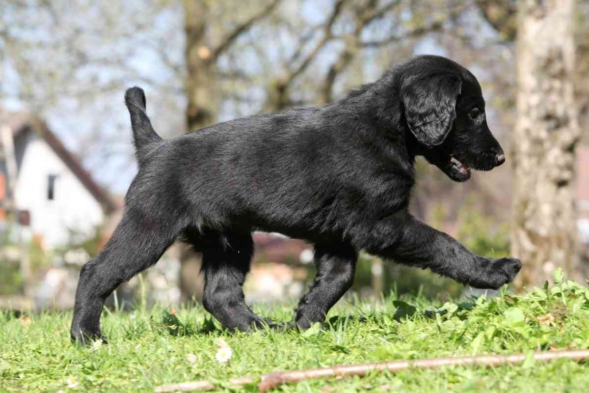 How Much Exercise Does a Flat Coated Retriever Need